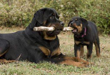 La mayoría raza de perro leal: la descripción y la naturaleza de las rocas