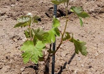 Jak propagować winorośli z sadzonek i zrazów