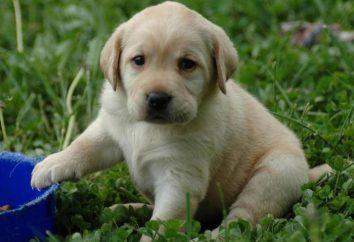 Antes de empezar el entrenamiento del perrito? perro de servicio