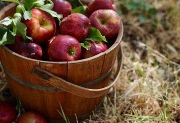 Creeping maçã: Descrição de variedades, especialmente o cultivo. As melhores variedades de macieiras na Sibéria e nos Urais