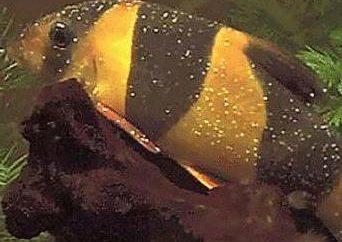 Obrobiony na ryby kasza manna? Jak leczyć rybę z kaszy manny w domu?