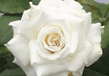 Hybrid Tea Rose Pascal