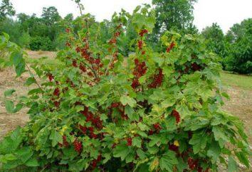 Bokalchataya rdza porzeczka: jak radzić sobie z chorobą? Przyczyną objawów