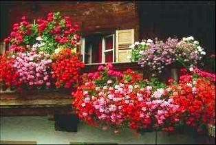 Ampelnaya geranium – une excellente option pour la décoration des fenêtres et des balcons