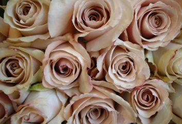Róże są beżowe: odmiany, zdjęcia. Kombinacja w bukiecie