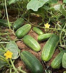 I migliori tipi di cetrioli per serre e terreno aperto
