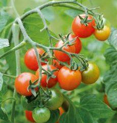 Come piantare piantine di pomodoro in casa?