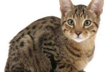 Hinchados labios inferiores gatos: causas y tratamiento