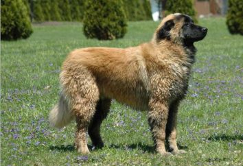 Estrela Mountain Dog Mountain lub portugalski Owczarek Breed Opis