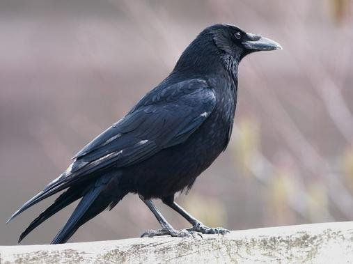 schwarzer vogel mit einem schwarzen schnabel der schwarze vogel mit einem gro en schnabel. Black Bedroom Furniture Sets. Home Design Ideas