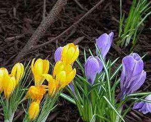 Crochi: la coltivazione e la cura dei fiori