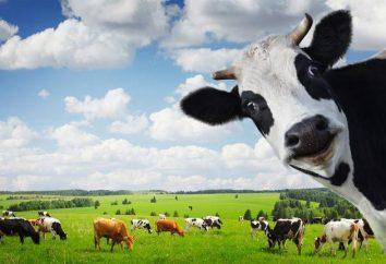E sei interessato a sapere quanto pesa la mucca? Massimo peso di una mucca e di un toro