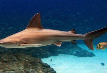 Tubarão cinzento-azul: fotografia e descrição