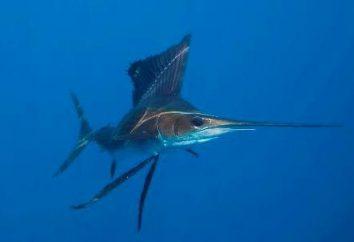 Ryby jachtu – ocean błyskawica