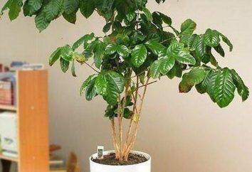 ¿Cómo hacer crecer un árbol de café en casa? Características de cultivo