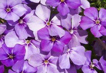 Gartenblume Phlox Annual – wächst aus Samen und Pflege