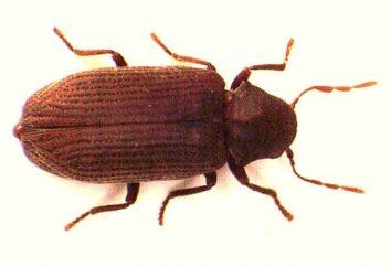 Ostrzeżenie! Beetle stolarz