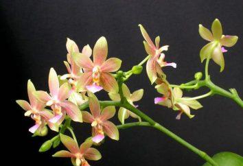 L'orchidea di alimentazione a casa?
