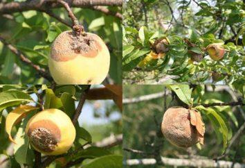 Perché le mele marciume sul legno della croce? Come salvare il raccolto?