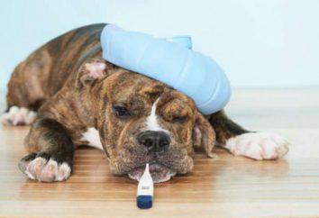 Jak mierzyć temperaturę psa: metody i opcje instrumenty