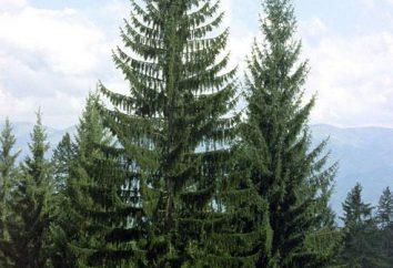 Spruce – o que é? árvore de abeto. Coníferas (foto)