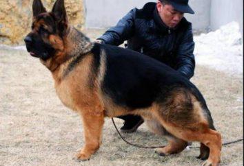 Chine Shepherd. Quel genre de race?