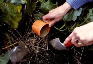 Comment fertiliser le concombre, de fournir une riche moisson?