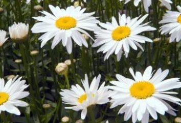 Królowa łąk i ogrodów – stokrotka. Typy stokrotki