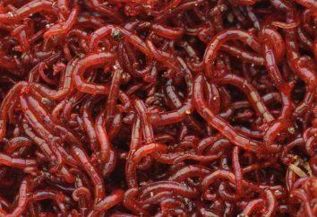 ¿Qué es Bloodworm? Tipos y descripción