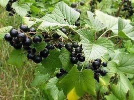 Les secrets du jardinage: une transplantation de groseilles à l'automne