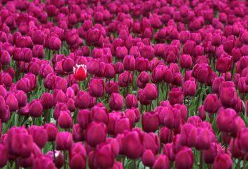 Comment multiplier les tulipes dans la nature et dans le chalet d'été?