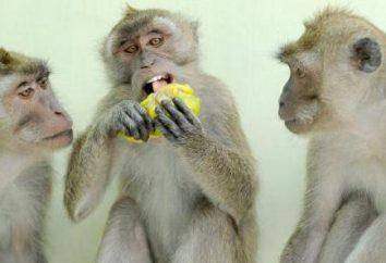Des singes cynomolgus: le contenu de la maison