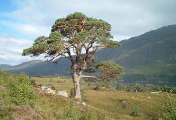 L'apparato radicale delle pini. soprattutto conifere