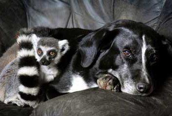 Lemur à la maison. Est-ce possible?