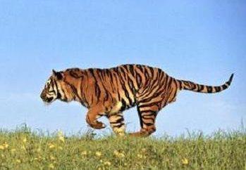 Gdzie są tygrysy, wiele osób nadal nie wiem