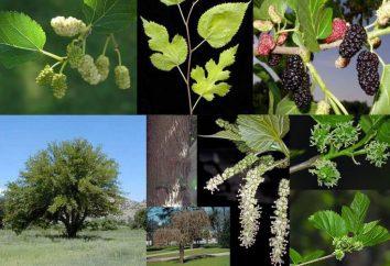 Mulberry à Moscou: variétés et leurs descriptions