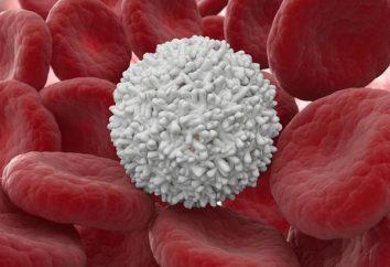 La structure des leucocytes humains. Caractéristiques de la structure des leucocytes