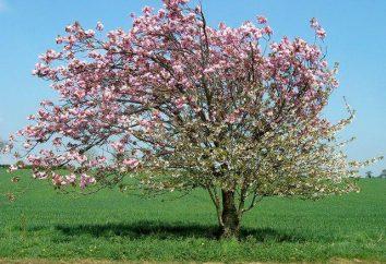 Melo Mantet: descrizione della varietà, semina e la cura