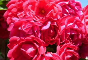 Jak przygotować wodę różaną w domu? Tea Rose: przepisy na róży wody do mycia
