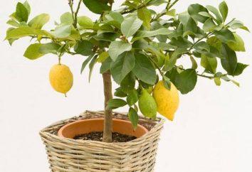Jak rosną cytryny w domu: tajemnice sukcesu