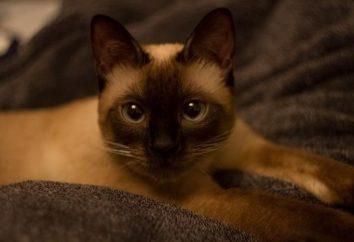 Thai cat: opis rasy, zdjęcia natury