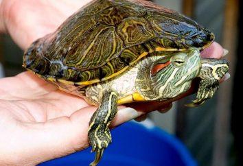 Co żółwie jedzą w domu?