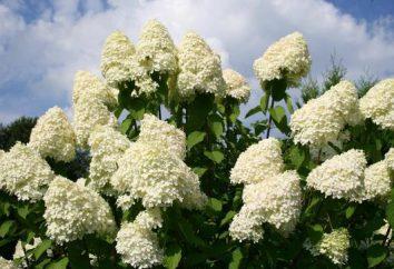 Hydrangea paniculata nuove varietà. albero Hydrangea e ginestra: la riproduzione e la cura
