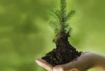 Come piantare abete sul sito? Come piantare un albero