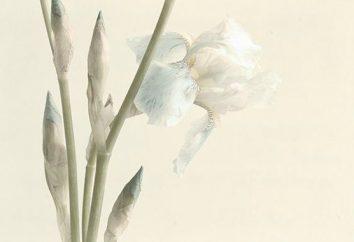 Iris blanco: variedades, descripción, características de cultivo