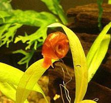 Ślimaki cewki: opis, zawartość reprodukcji