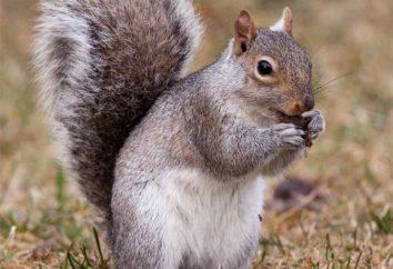 In cui la proteina è vivo e ciò che mangia? Come scoiattoli nel bosco