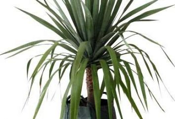 Smok Tree – tajemnicza roślina tropikach