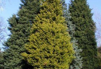 Conifere e loro tipi