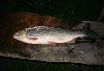 Ryby Kutum: siedliska i rybołówstwo